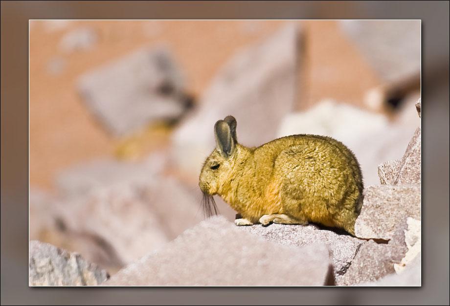 A Viscacha.
