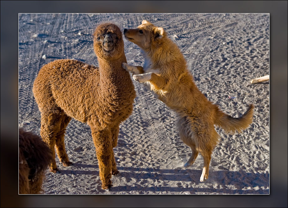 Dog playing with baby llama.