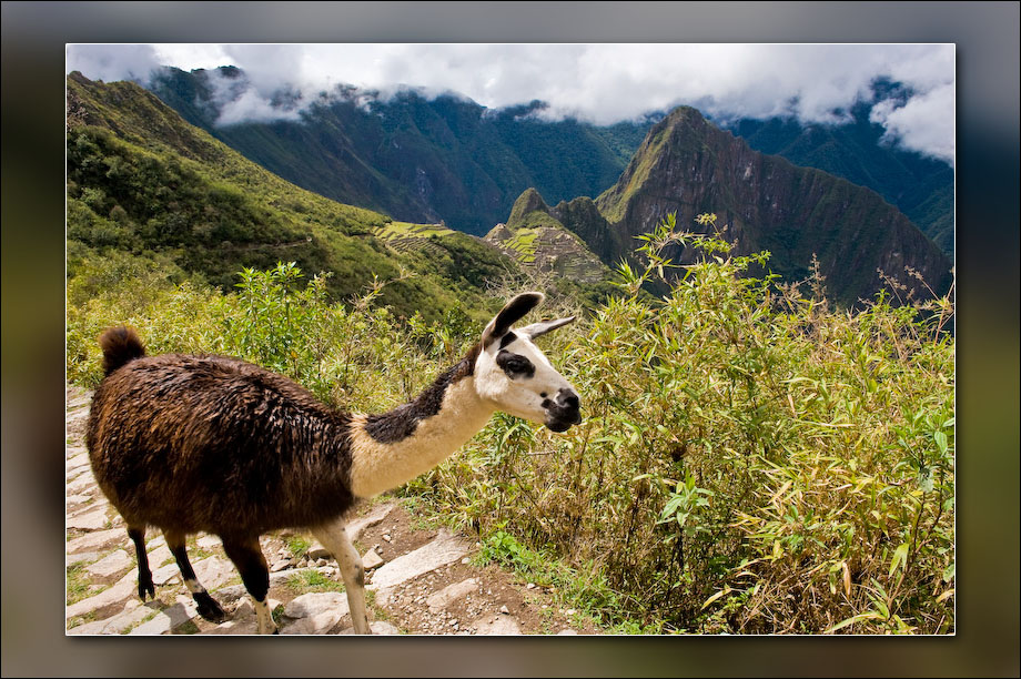 Machu Picchu and llama from part way up to the Sun Gate.