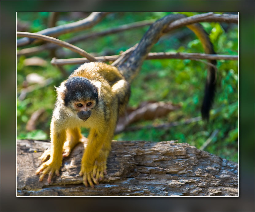 Squirrel monkey (I think).